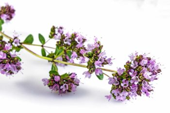 Fleurs d'origan