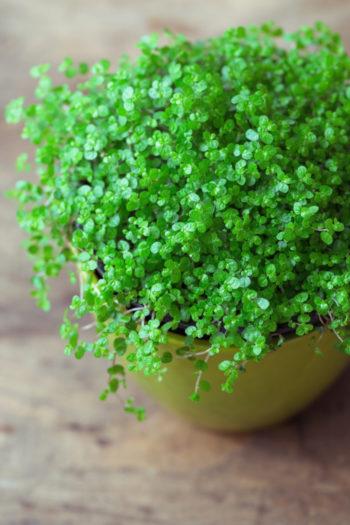 Soleirolia soleirolii - Hortus Focus