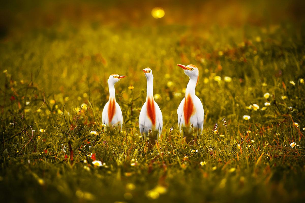 Bubulcus ibis - Hortus Focus