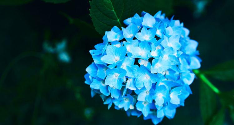hortensia - Hortus focus