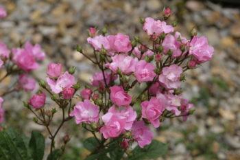 Rosa 'Mme WH Cutbush' - Hortus Focus