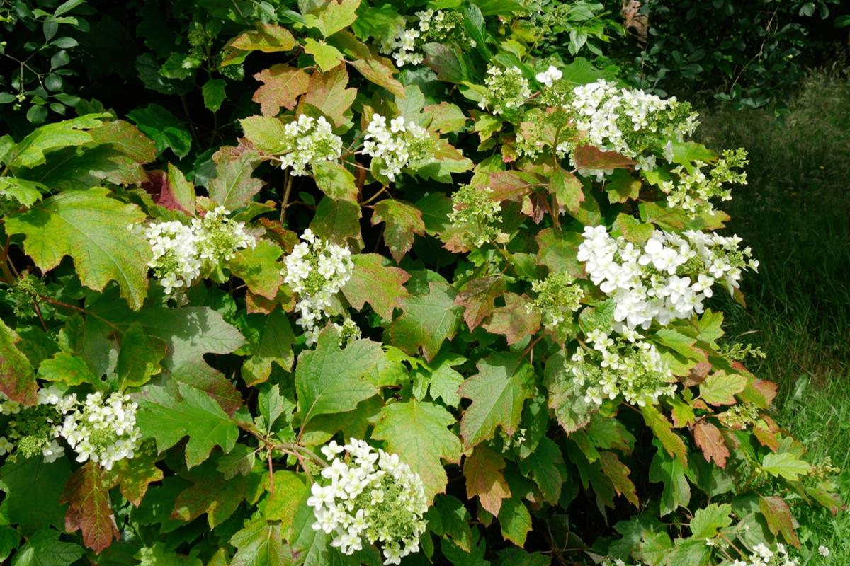 Hydrangea quercifolia - Hortus Focus