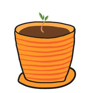 abricot - la germination