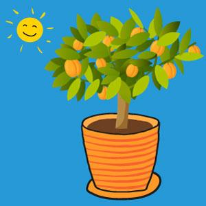 abricot - l'abricotier