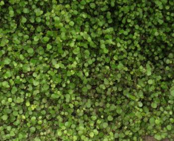 Muehlenbeckia axillaris - Hortus Focus