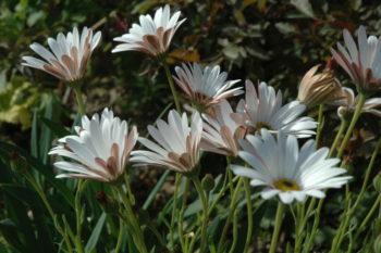 Osteospermum Aurore - Hortus Focus