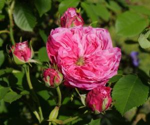 Rosa 'Chenedollé' - Hortus Focus