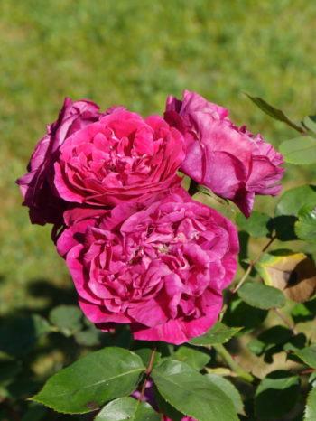 Rosa 'Triomphe d'Avranches' - Hortus Focus