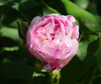 Rosa 'Honorine de Brabant' - Hortus Focus