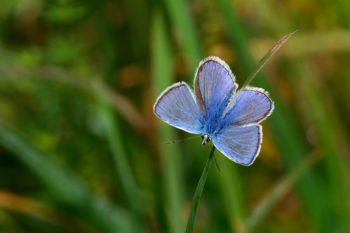 Papillon azuré - Hortus Focus