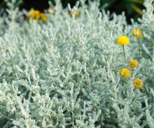 Santolina chamaecyparissus - Hortus Focus