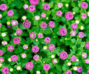 boutons de fleurs - Hortus Focus