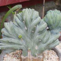 Myrtillocactus geometrizans cristata - Hortus Focus