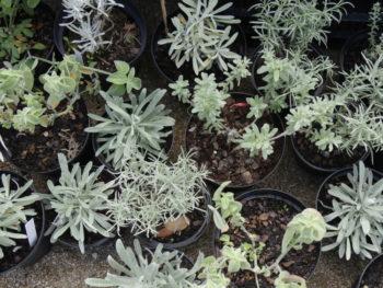Collection Helichrysum - Hortus Focus