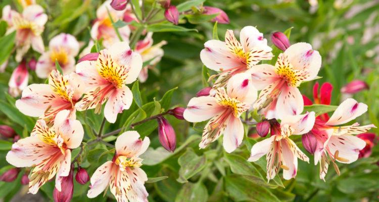 Alstroemeria - Hortus Focus