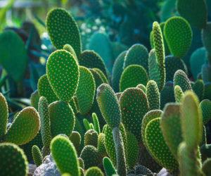 cactus - Hortus Focus