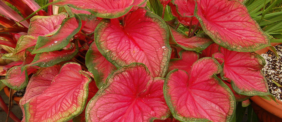 Caladium Florida Sweetheart - Hortus Focus