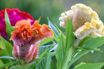 Celosia cristata - Hortus Focus