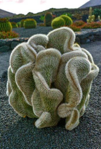 Cleistocactus strausii formaa cristata - Hortus Focus