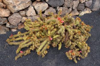 Cleistocactus samaipatanus var. cristata - Hortus Focus