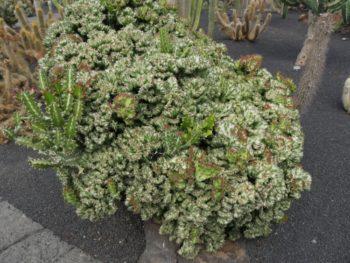 Euphorbia lacteals cristata - Hortus Focus