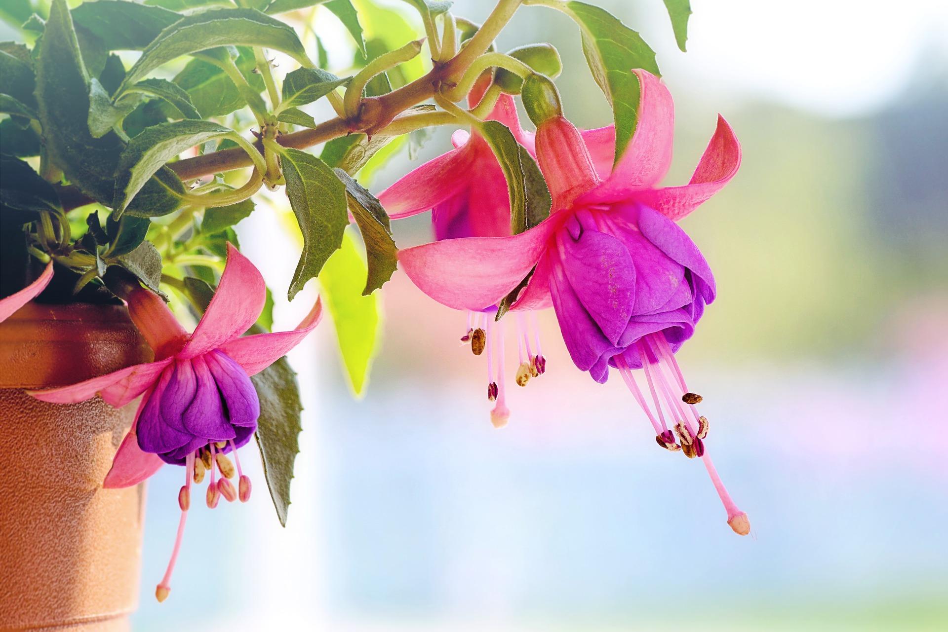 Fuchsia - Hortus Focus