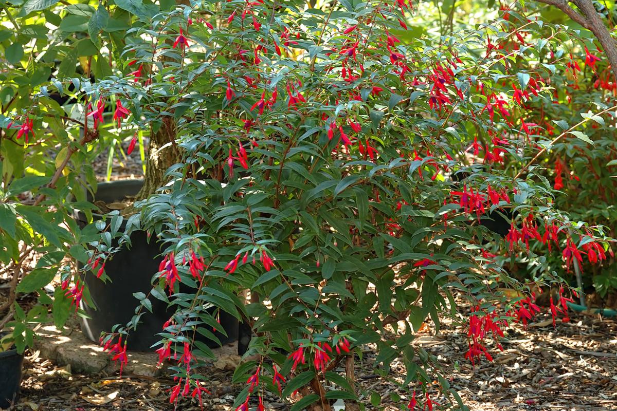 Fuchsia regia - Hortus Focus