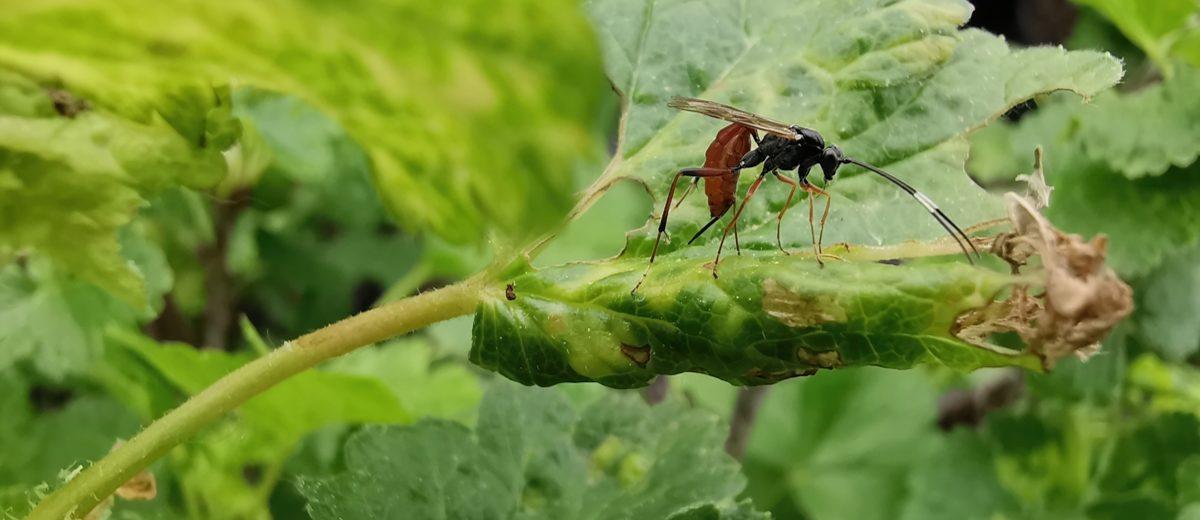 Guêpe parasite Ichneumonidae (Tribu des Cryptini) - Hortus Focus
