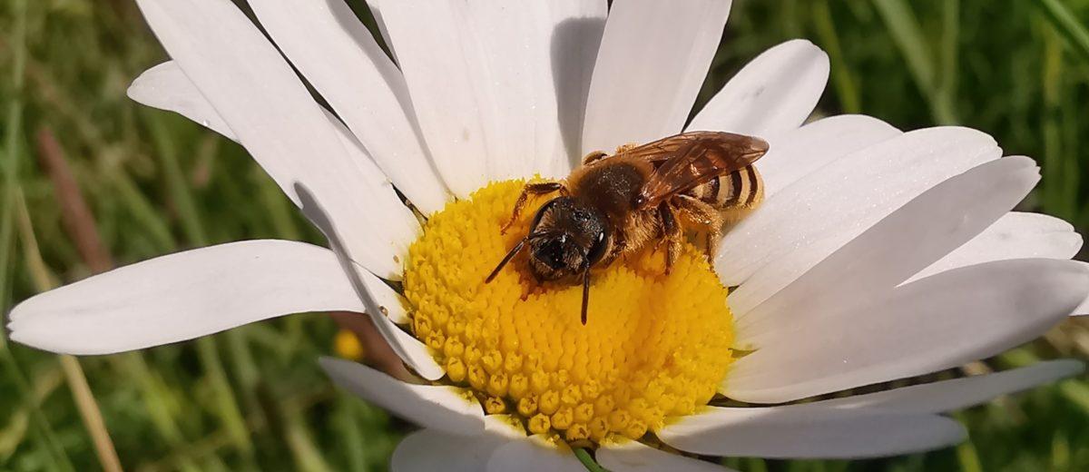 Halicte de la scabieuse (Halictus scabiosae) - Hortus Focus