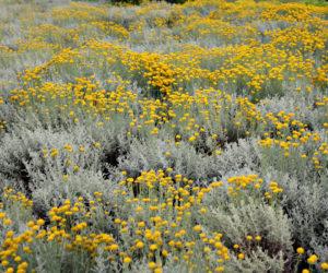 Helichrysum italicum - Hortus Focus