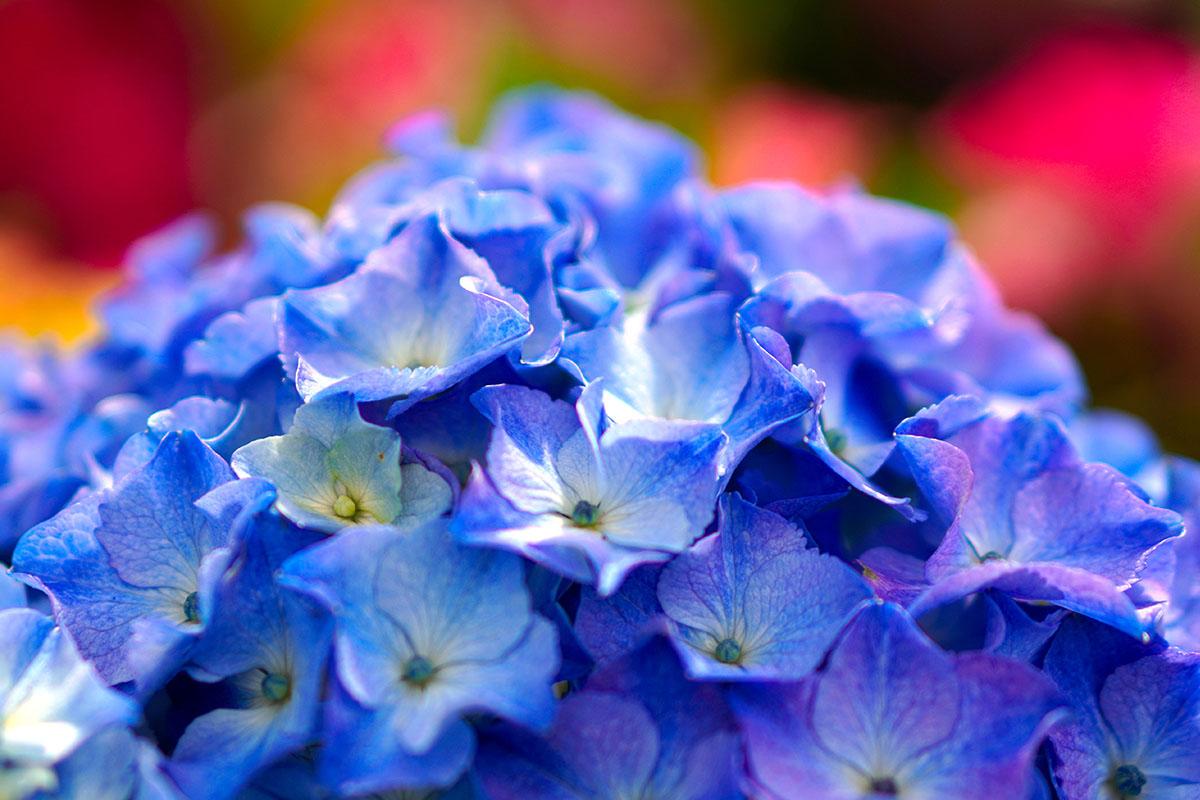 Hydrangea - Hortus Focus