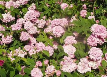 rosa Ispahan - Hortus Focus