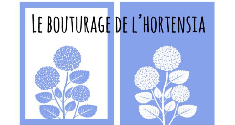 Le bouturage de l'hortensia