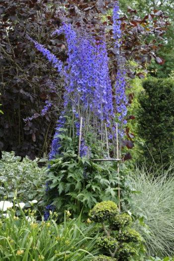 Delphinium - Jardin de Basroger - Hortus Focus