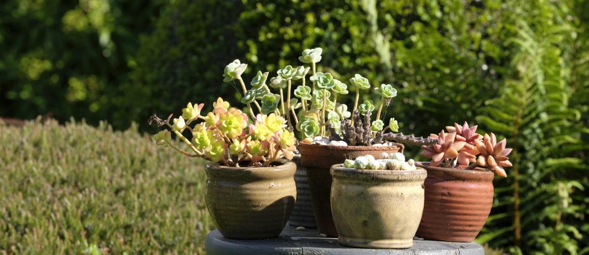 succulentes - jardin de Basroger - Hortus Focus