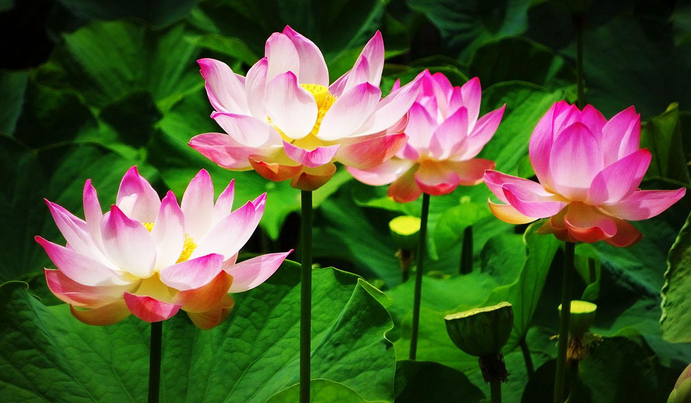 Lotus - Hortus Focus