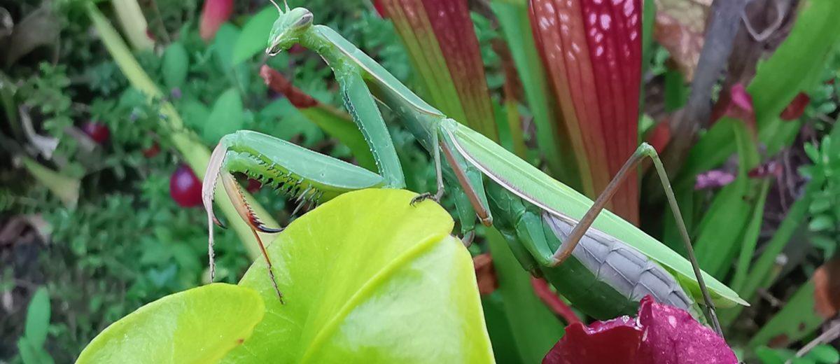 Mante religieuse (Mantis religiosa) - Hortus Focus