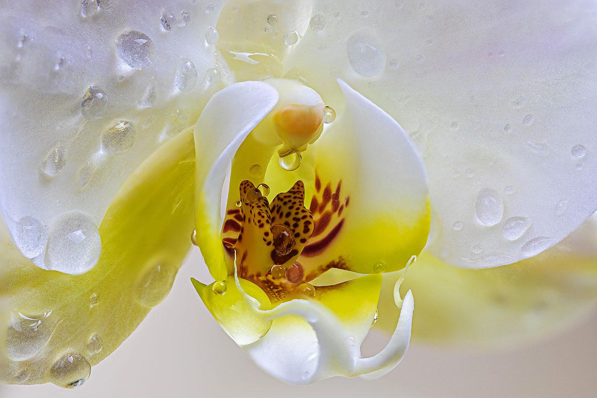 orchidee - Hortus Focus