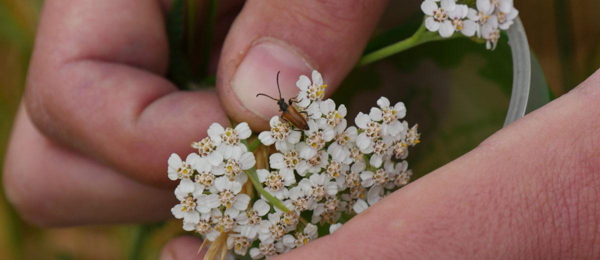 Oedemera nobilis - Hortus Focus