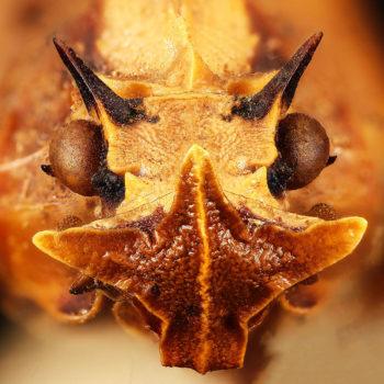 Phrictus diadema - Hortus Focus