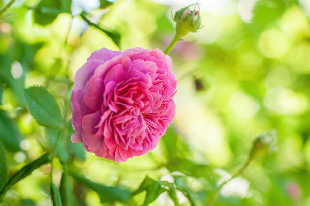 Rose Rescht - Hortus Focus