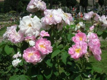Rosa Celsiana - Hortus Focus