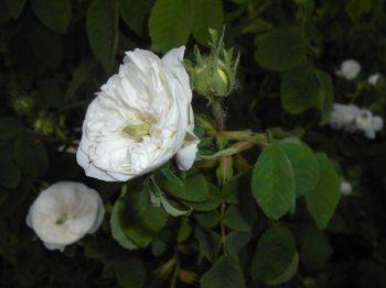 Rosa 'Mme Hardy' - Hortus Focus