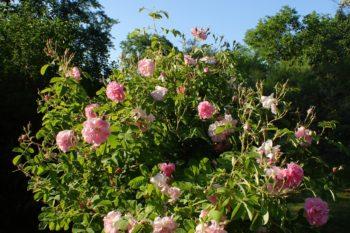 Rosa 'Trigintipetala' - Hortus Focus