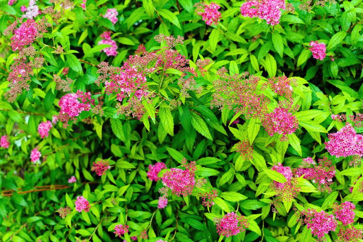 Spiraea - Hortus Focus