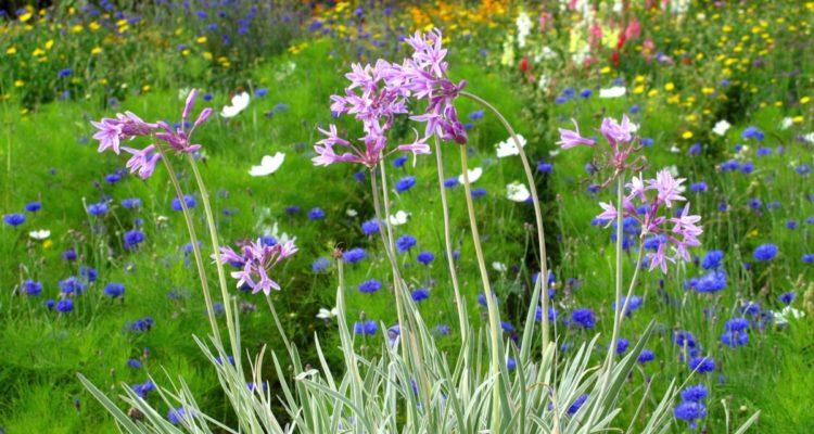 Tulbaghia violacea - Hortus Focus