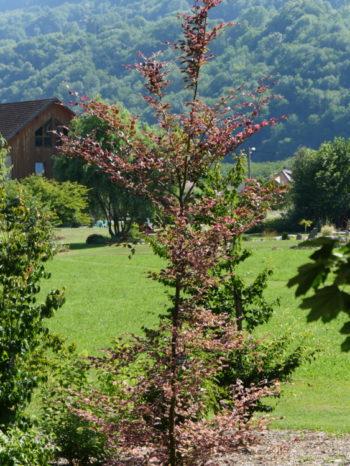 Fagus sylvatica Rosea marginata - Hortus Focus