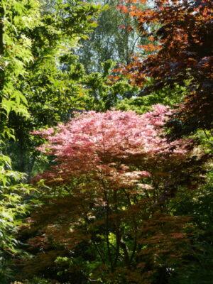 Acer palmatum 'Shirazz' - Hortus Focus