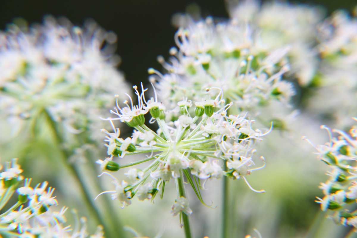 Angélique : angelica archangelica