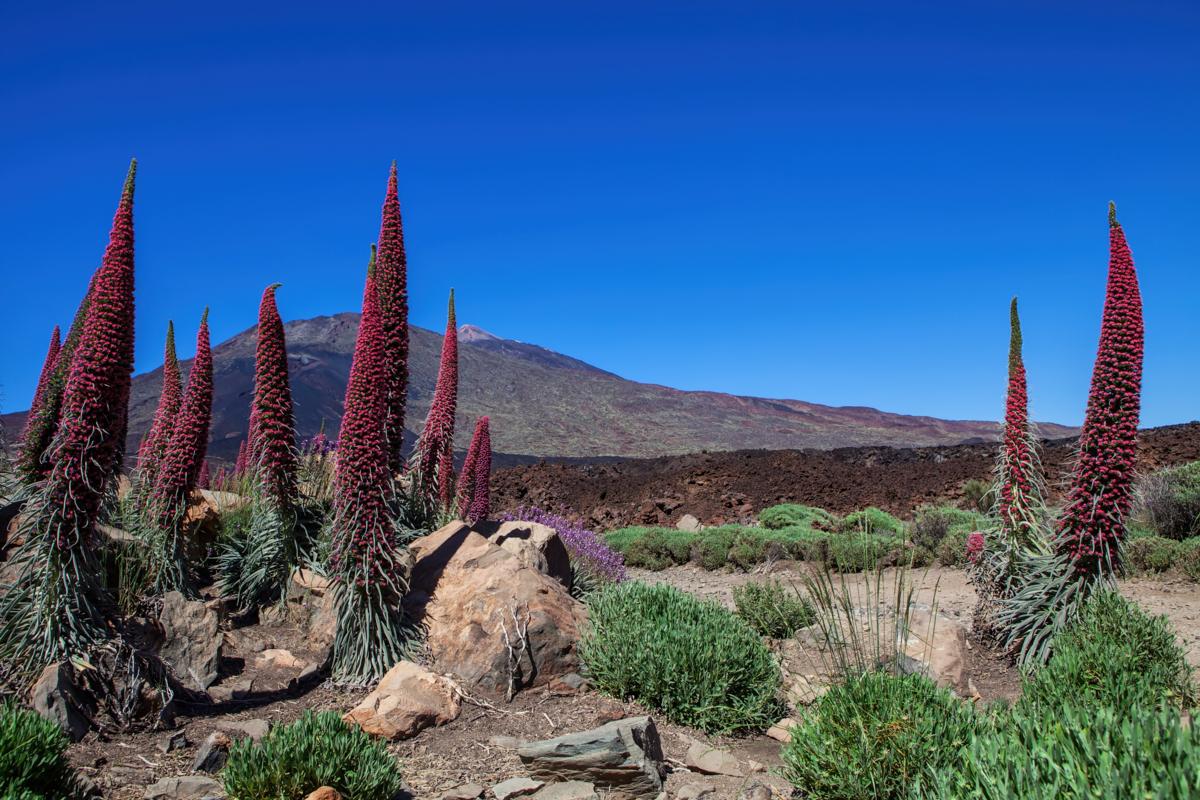 Echium wildpretii - Hortus Focus